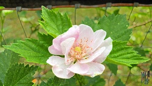 Oklawaha Double Bloom