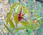 pignut hickory bud with leaflets unfurled