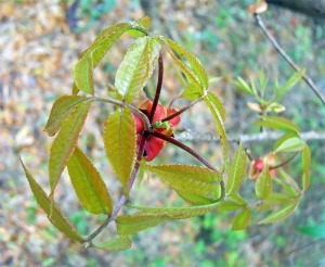 pignut hickory bud with leaflets unfurled
