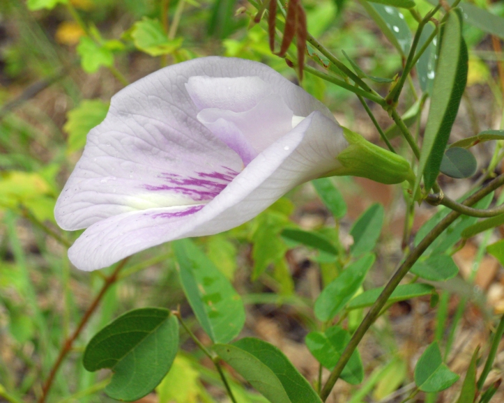 Clitoria fragrans
